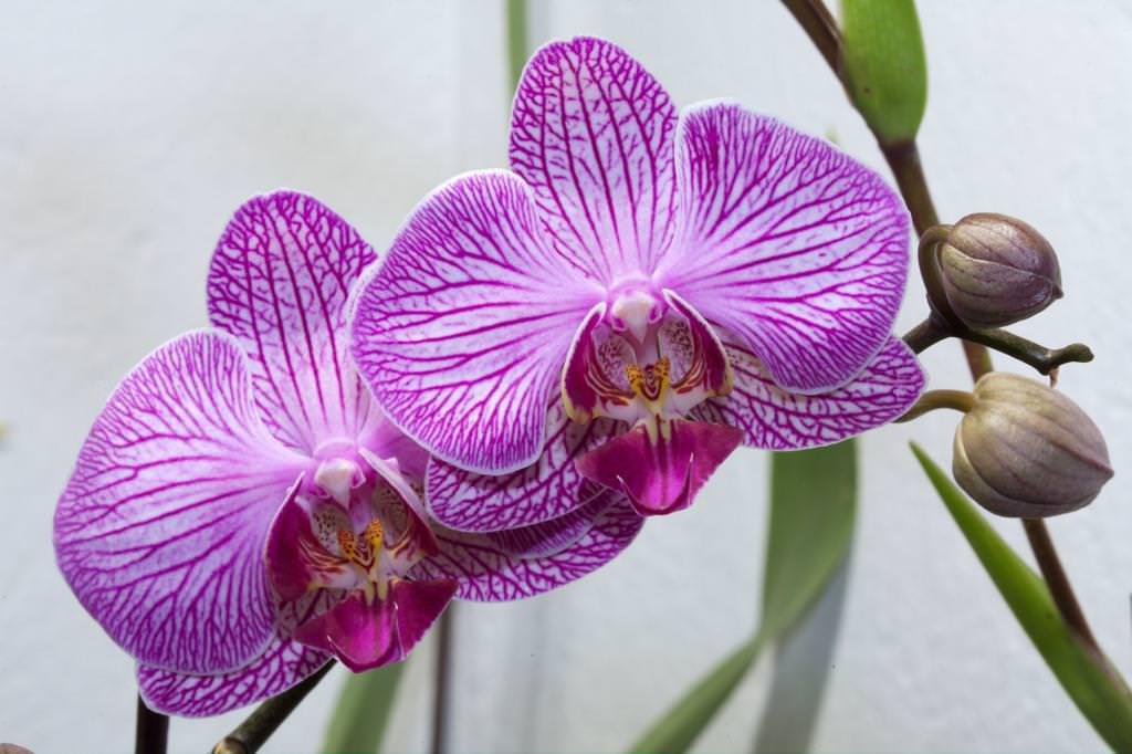 Як розмножуються орхідеї в домашніх умовах?