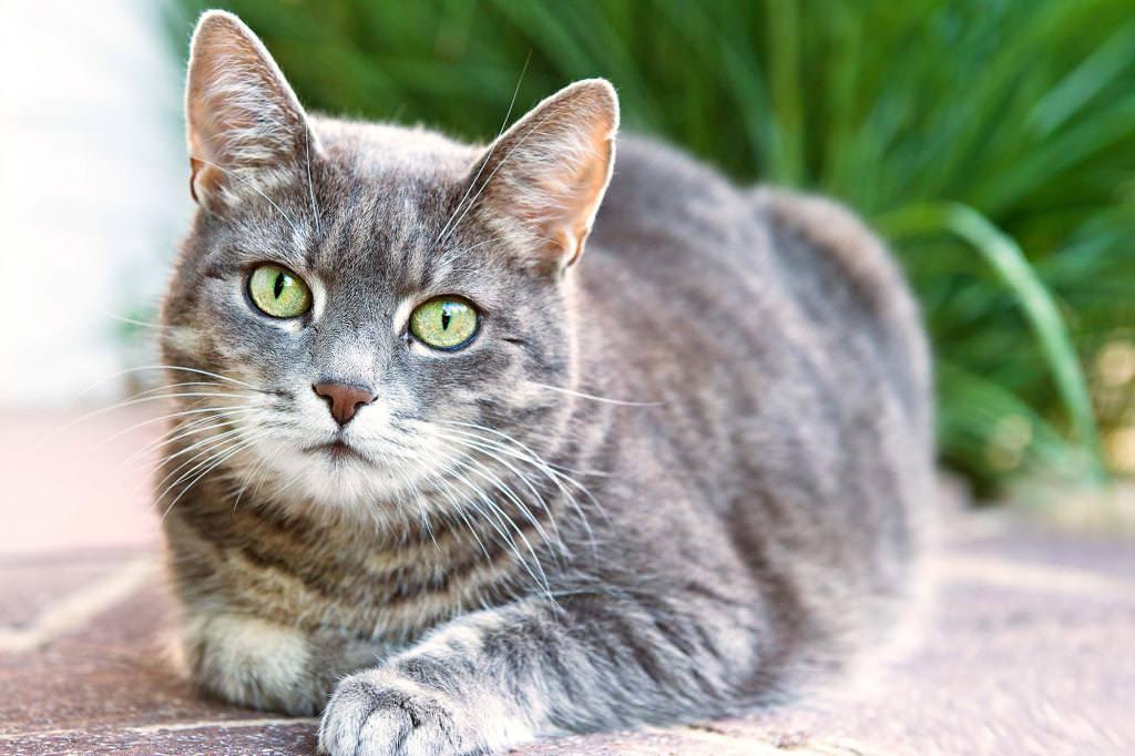 Підшкірний кліщ у кішок: лікування в домашніх умовах і профілактика
