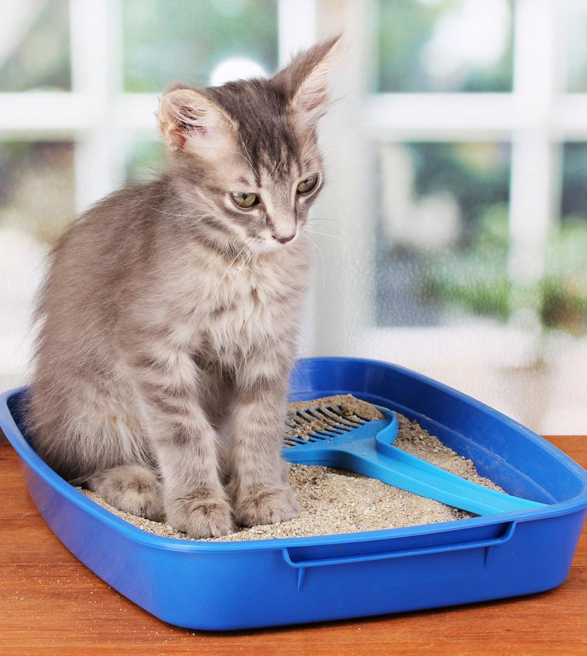 Як привчити кошеня до лотка з наповнювачем?