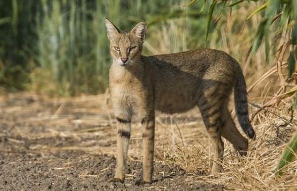 Очеретяний кіт: фото та опис