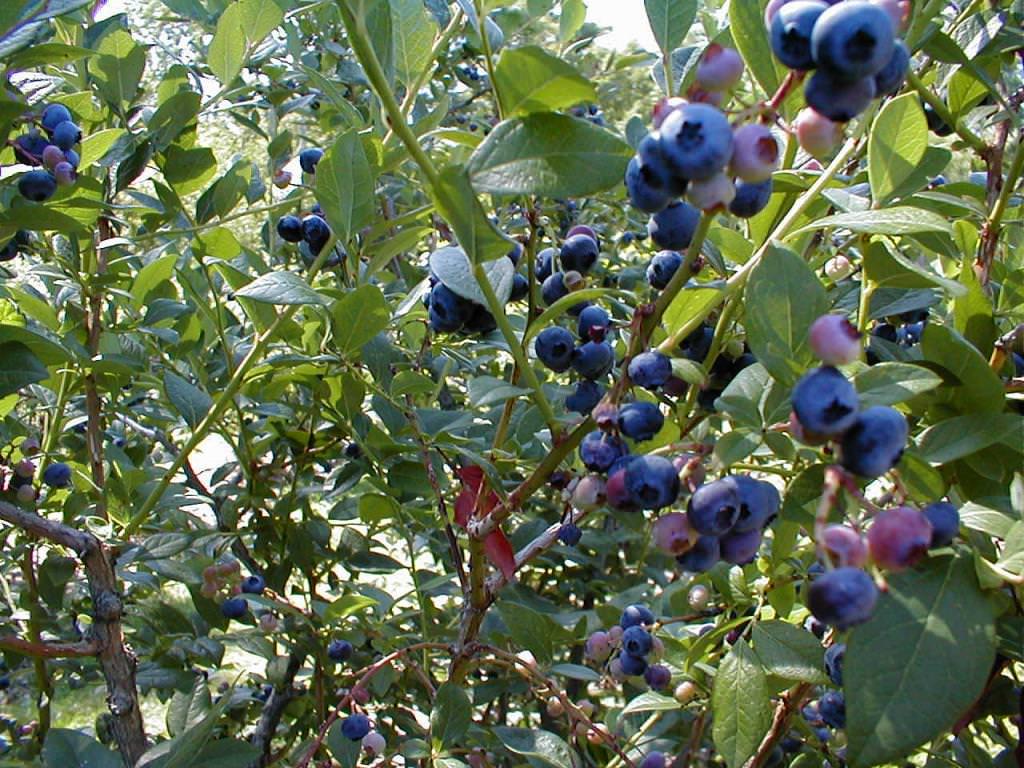 Лохина садова: посадка і догляд