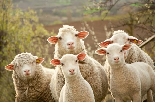 Кращі породи овець: фото і опис, характеристика