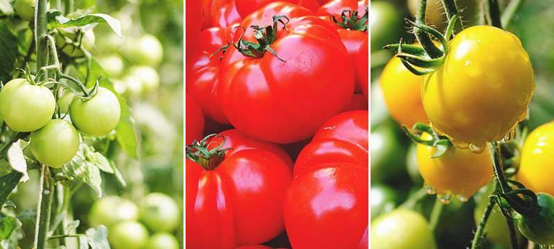 Найкращі ранні сорти помідорів