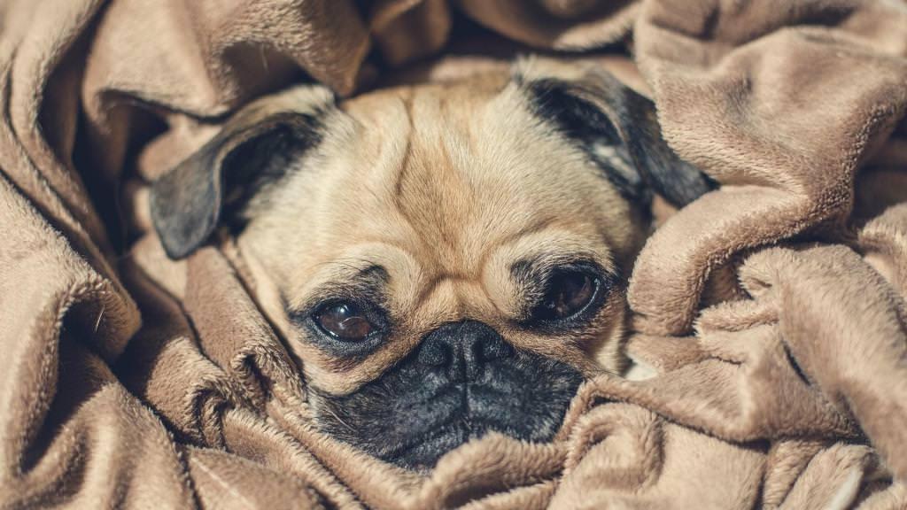 Собака мопс: відгуки власників, особливості породи і характеристики