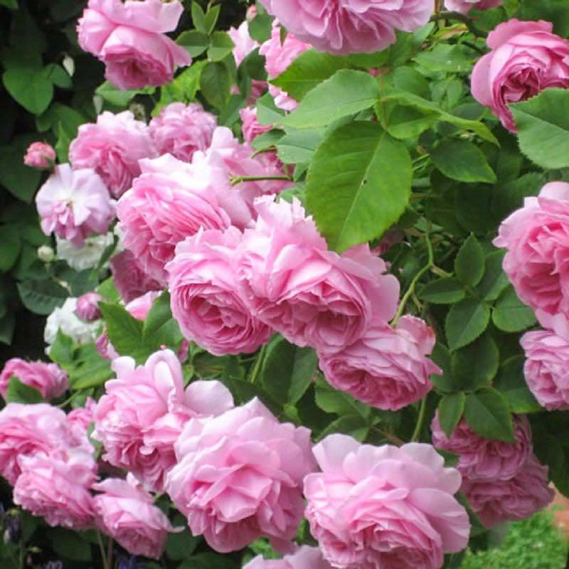 Троянди: посадка і догляд у відкритому грунті, фото