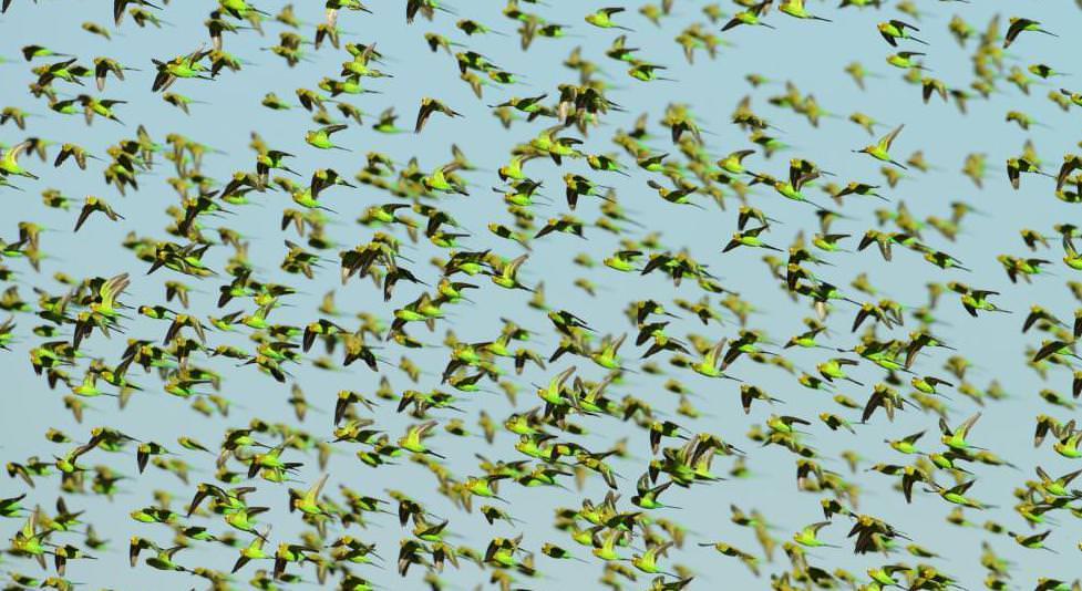 Як бачать хвилясті папуги світ навколо себе?